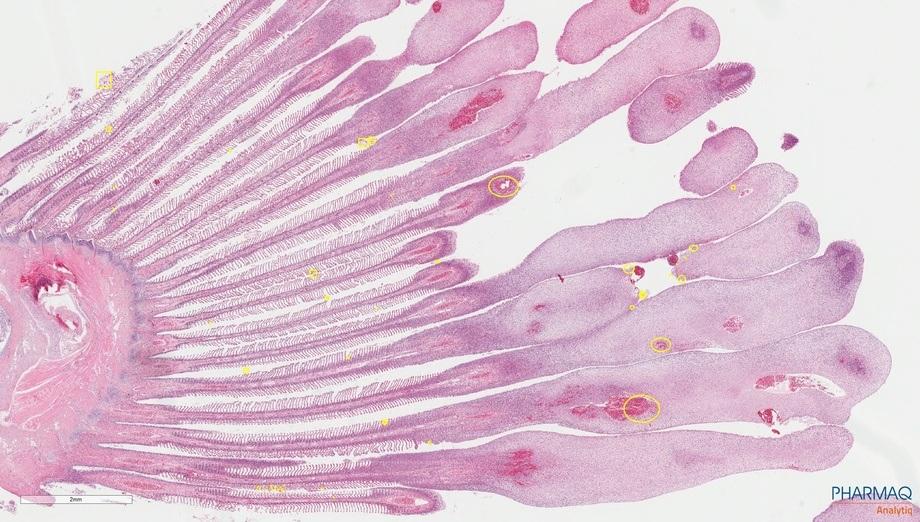 <p>Severa hiperplasia epitelial asociada a hemorragia multifocal en ápice de filamentos branquiales. Lesiones compatibles con cuadro de CGD.</p>