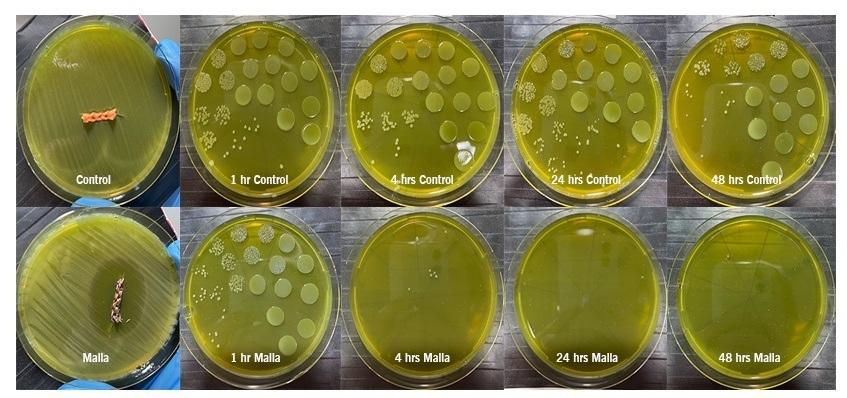 Figur 2: Reduksjon av P. Salmonis kolonier på marin agar for vanlig HDPE fibre (øverst) og V2 fibre (nederst), etter 1, 4, 24 og 48 timers eksponering.