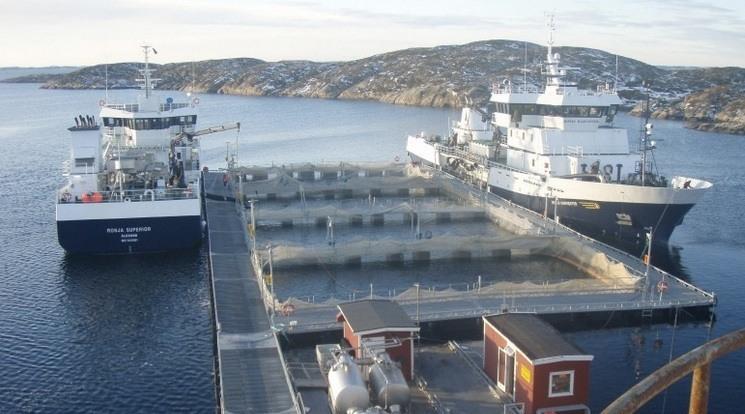 Sølvtransbåtene «Ronja Nordic» og «Ronja Superior» fortøyd ved Marine Harvest Ulvan. Foto: Sølvtrans.