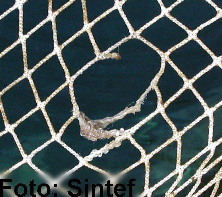 Meldinger om rømt fisk i  Nordland og Sør-Troms. Illustrasjonsfoto: Sintef.