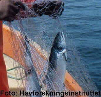 Gjenfangst av rømt fisk, i dette tilfellet laks. Illustrasjonsfoto:Havforskningsinstituttet