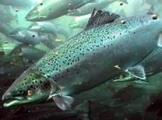 Flere og større fisk i merdene i januar.