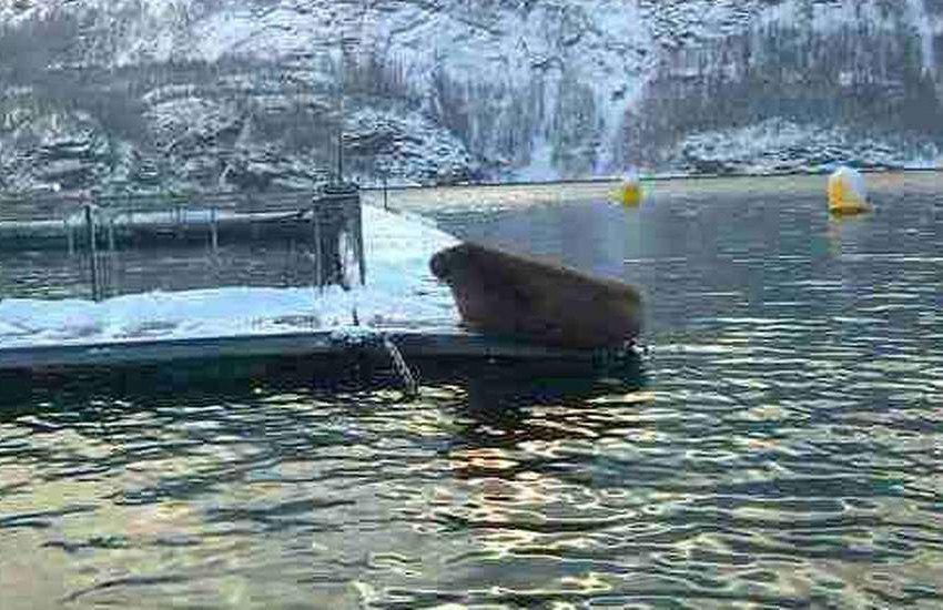 Reinert Torsvik var på vei til jobb torsdag morgen da han oppdaget hvalrossen som besøkte oppdrettsanlegget i Indre Foldafjord i Nord-Trøndelag