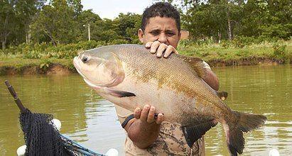 Brasil, tambaqui, Amazonas, fiskeoppdrett