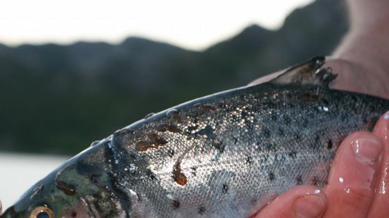 Lakselusen skal overvåkes over hele Norge. Foto: R. M. Serra Llinares - Havforskningsinstituttet.