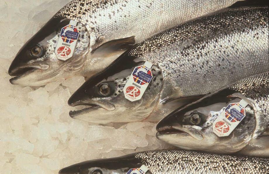 Label Rouge, laks, død fisk, frys, is, eksport, skotsk laks.