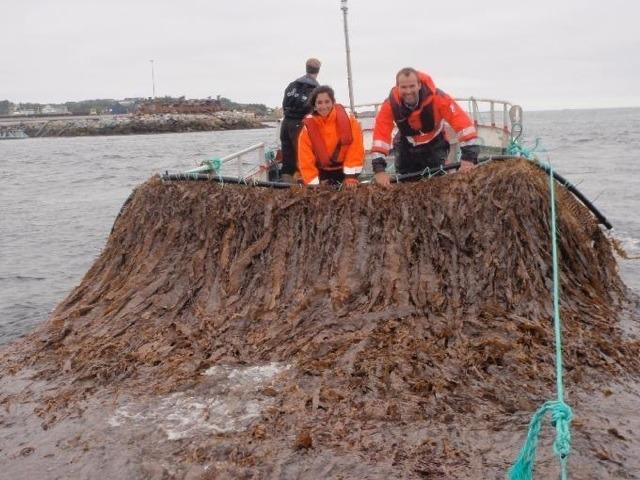 Seaweed Energy Solutions, tang og tare