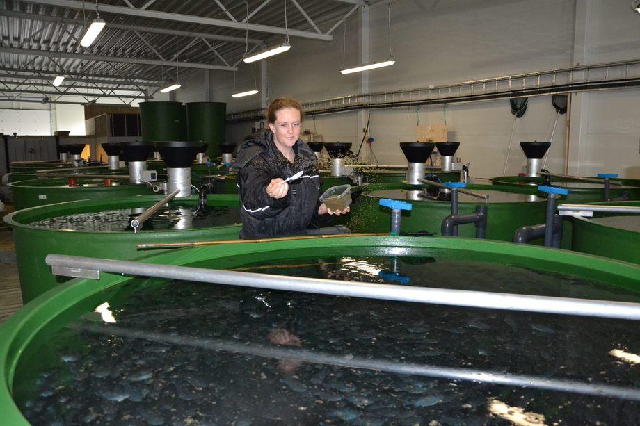 Biolog Benedikte Nordhus ved Vest Aqua Base i full gang med fôring av rognkjeksen. Foto: Linn Therese Skår Hosteland