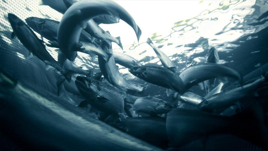 Laks i merd. Illustrasjonsfoto: Marine Harvest