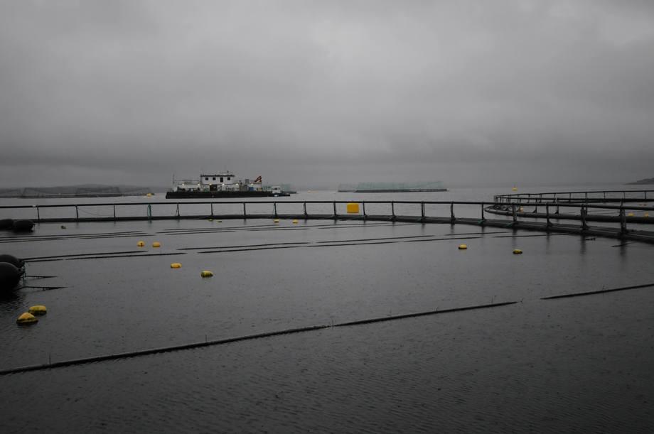 I egne merder uten fisk, men plassert rett i nærheten av vanlige laksemerder dyrkes noe av taren til Ocean Forest i hengekulturer på lokaliteten Rongøy utenfor Øygarden i Hordaland. Foto: Pål Mugaas Jensen.