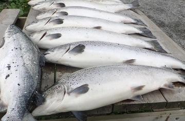 Illustrasjonsbilde av rømt oppdrettslaks. Foto: Tor EgilHolmedal/Fiskeridirektoratet.
