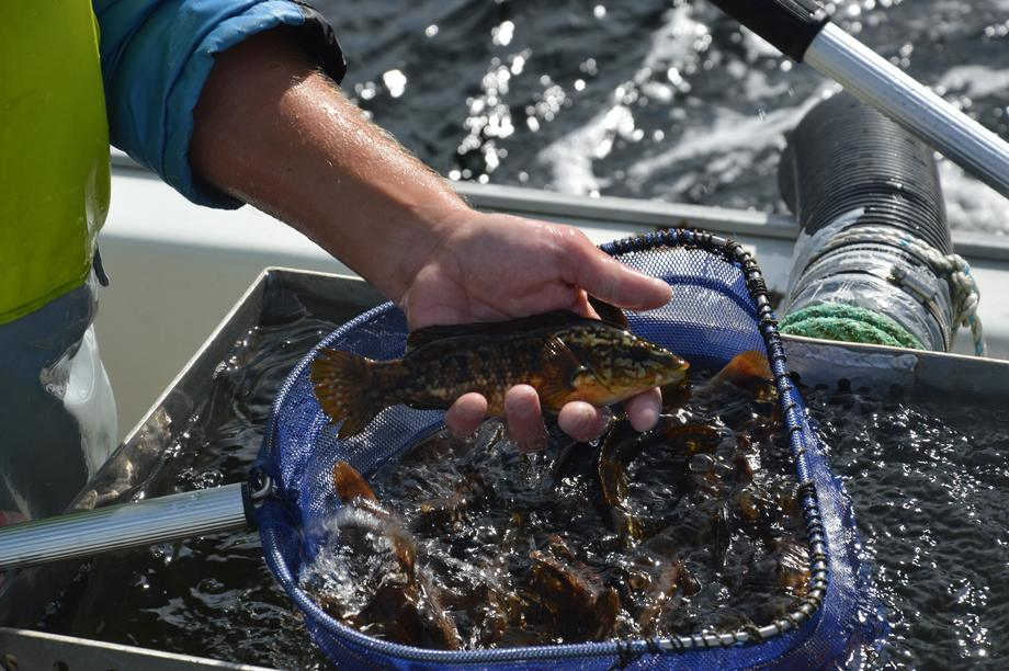 En av leppefiskene som skal i merdene for å spise lus. Illustrasjonsfoto: Therese Soltveit.