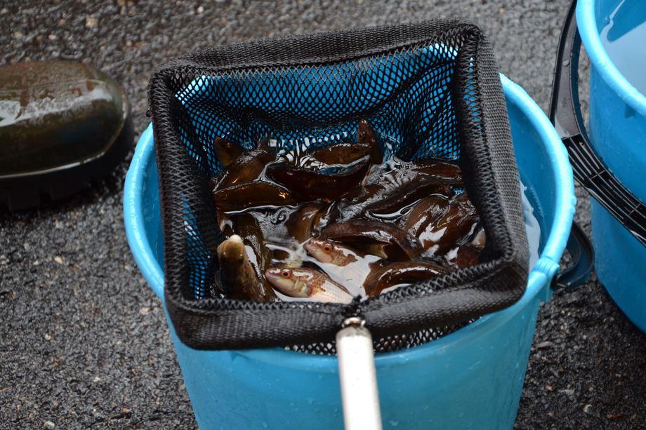 Leppefisk fangstet på Vestlandet. Foto: Magnus Petersen.