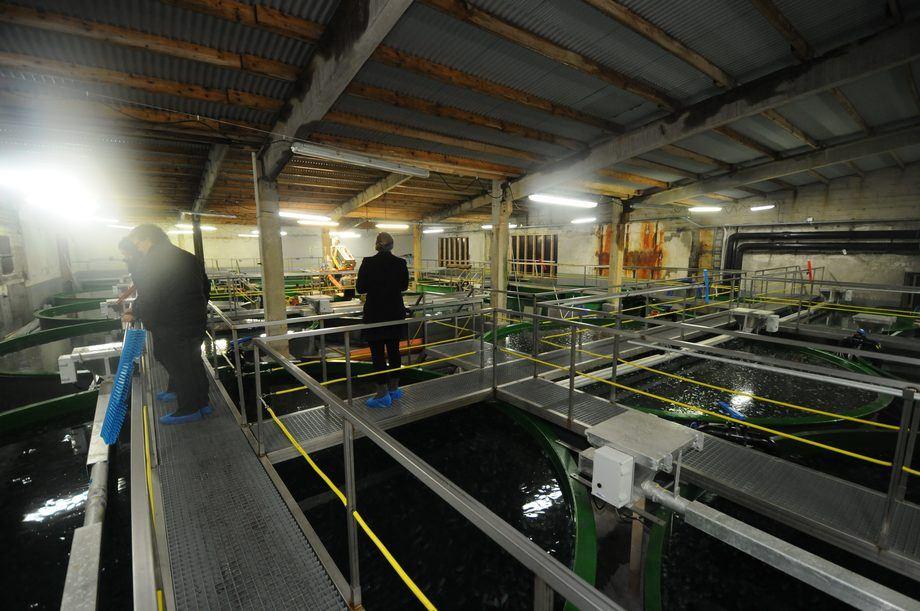 Rognkjeksanlegget til Stofnfiskur har en kapasitet på 2 millioner i året. Foto: Pål Mugaas Jensen.