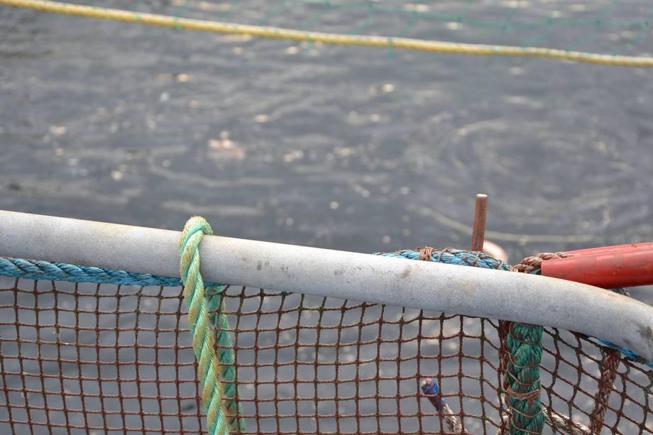 Mer fisk dør under lusebehandling, ifølge Veterinærinstituttet. Foto: Linn Therese S Hosteland.