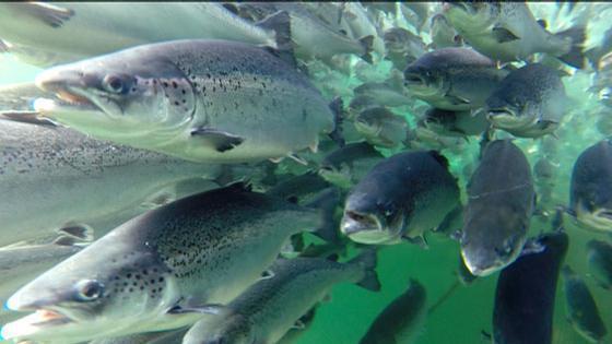 Oppdrettslaks. Foto: Frode Oppedal, Havforskningsinstituttet.