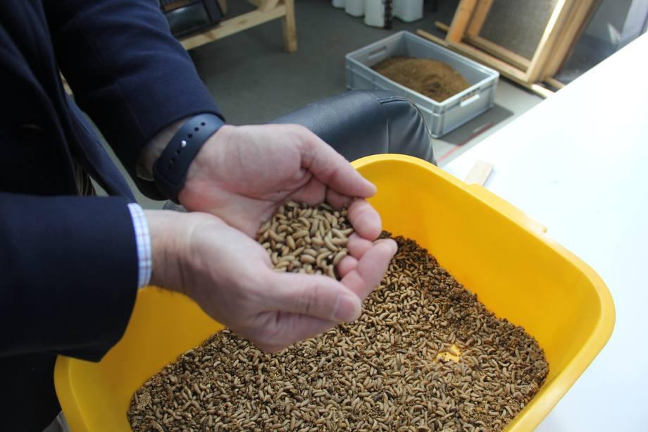 Larver av svart soldatflue kan bli en viktig ingrediens i fremtidens fôr.