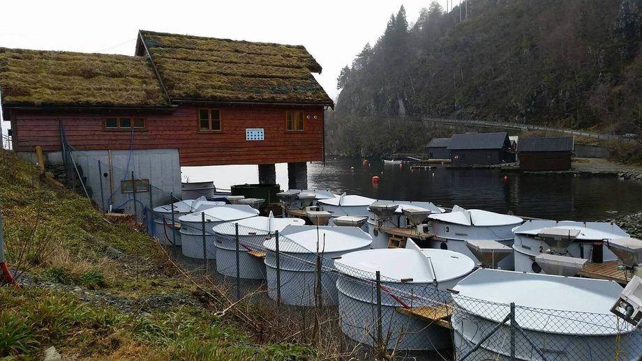 Lønningdal Rensefisk på Os har 24 rognkjeks-kar, som rensefisken kan vokse seg sjøklar i. Foto: Lønningdal Rensefisk.