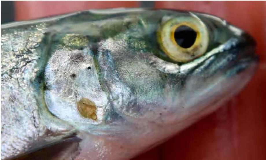 Smolt med lakselus. Foto: Espen Bierud/Havforskningsinstituttet