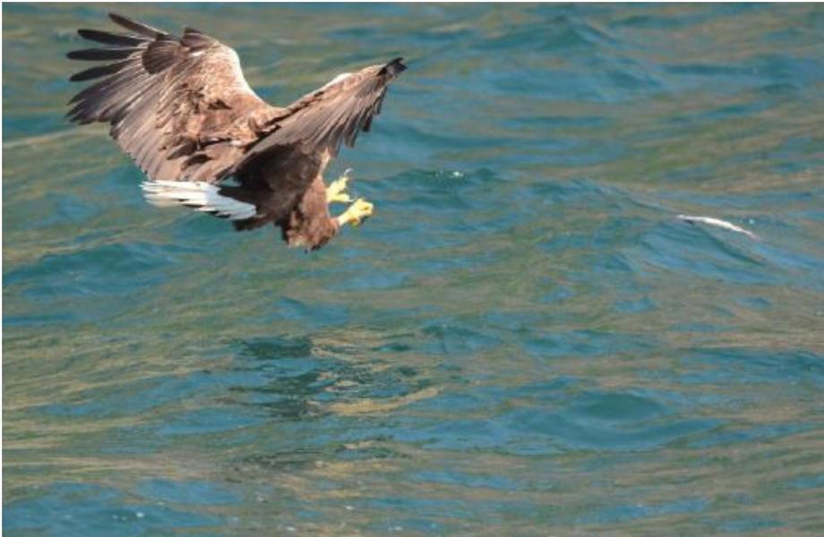 Voksen havørn i ferd med å ta en fisk på sjøen 10 meter fra anlegget til Sulefisk. Foto: Uni Research Miljø.
