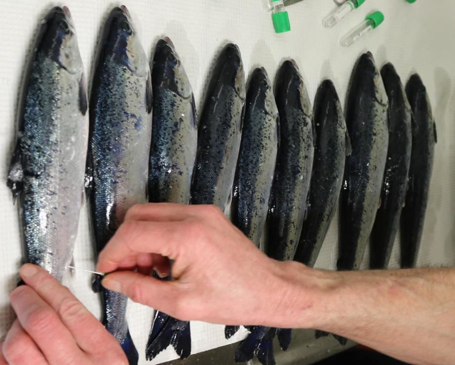 Undersøkelse av fisk etter utsett. Foto: Akvaplan-niva.
