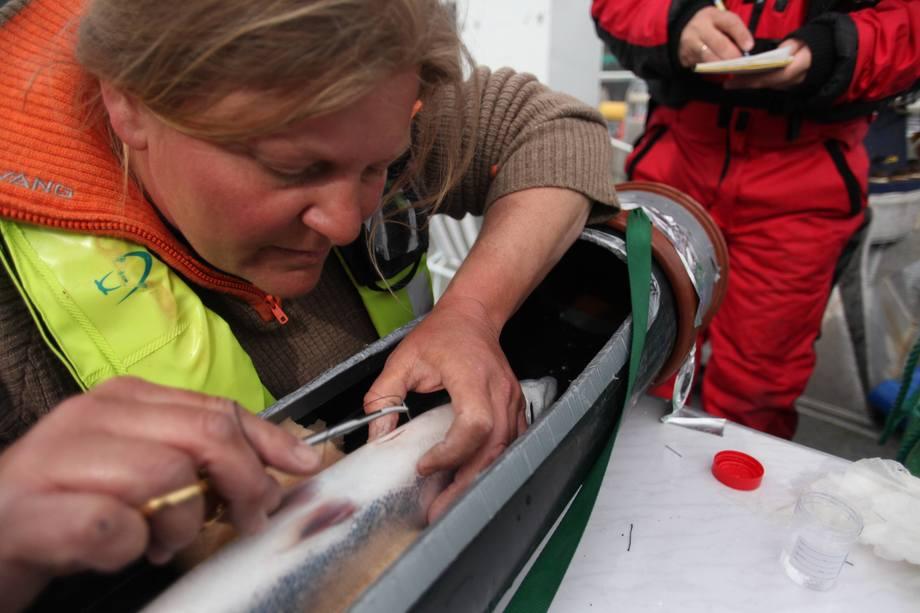 Forsker Jenny Jensen opererte en sender inn i bukhulen på rundt tre kilos oppdrettslaks, og forskeren tok forhåndsregler for at fisken ikke skulle være forvirret etter operasjonen. Foto: Jo Espen Tau Stran.