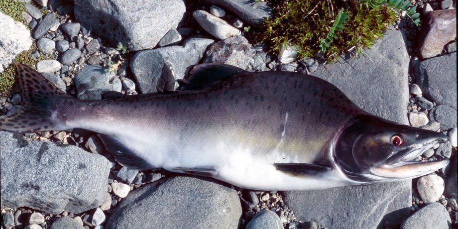 Invasjonen av stillehavsarten pukkellaks kan få alvorlig følger i Norge, også for akvakultur. Illustrasjonsfoto Eva B. Thorstad/NINA.