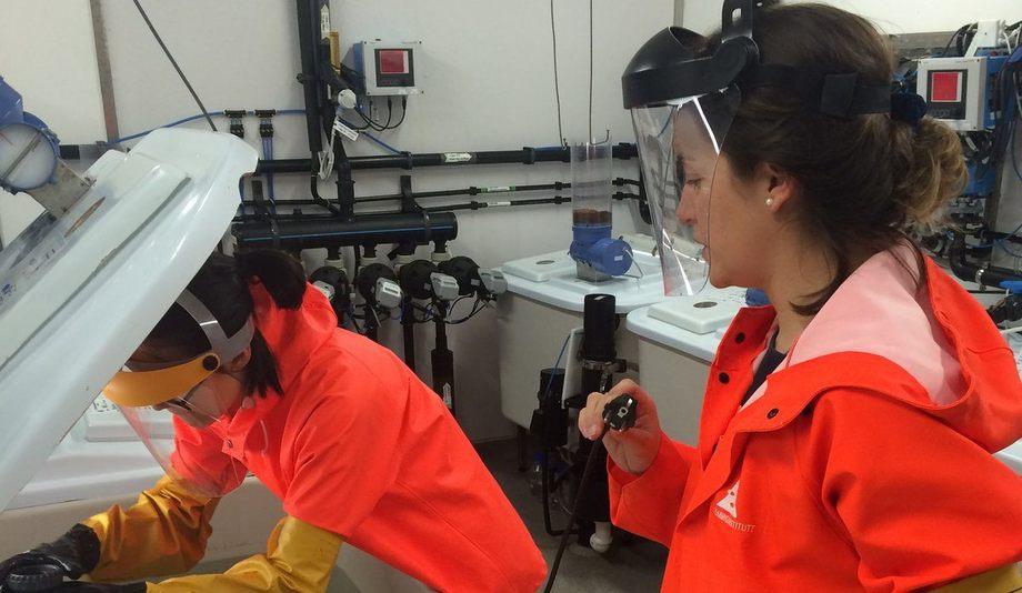 Francisca Samsing og Kathy Overton utsetter laks for avlusing i nedkjølt sjøvann med hydrogenperoksid i forsøksfasilitetene ved Matre Havbruksstasjon. Foto: Havforskningsinstituttet.