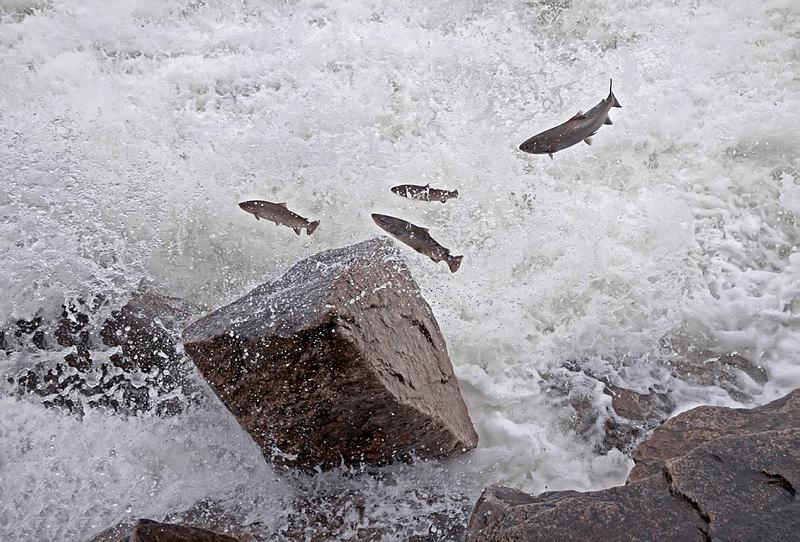 Laks i elven Laksforsen i Nordland. Foto: Kiwisoul/Shutterstock.