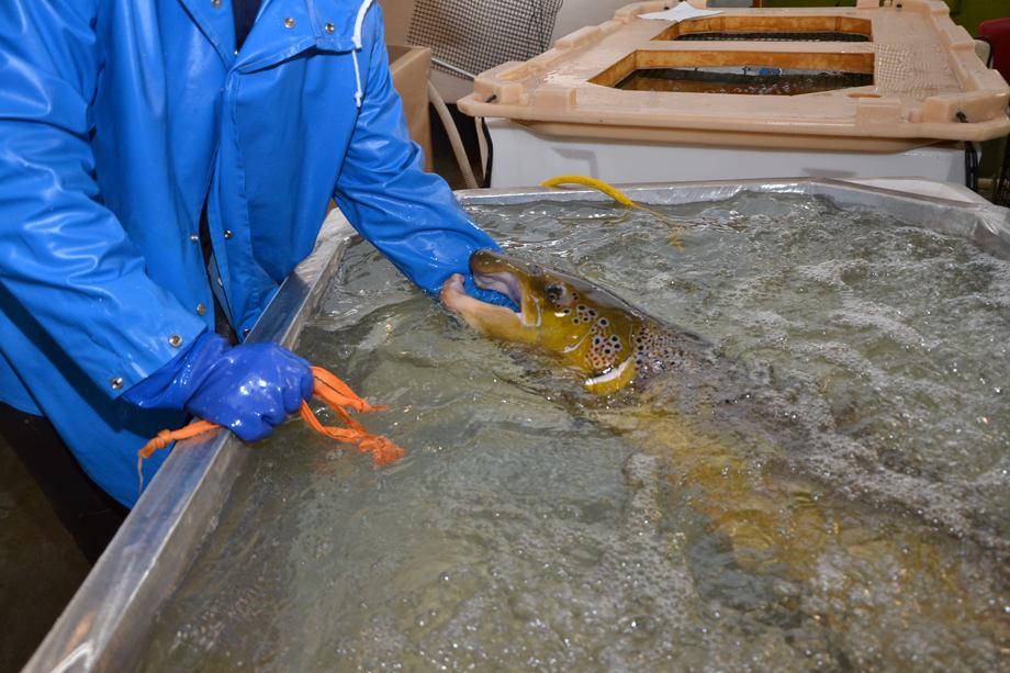 Stamfisk som skal melkes. Foto: Linn Therese Skår Hosteland