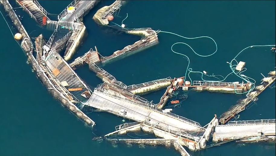 Cooke wants to switch to native trout after Washington decided to phase out Atlantic salmon farming following an escape from a collapsed pen system, pictured, at Cooke's Cypress Island site in 2017.
