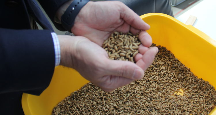 Using insects in aquaculture feed could provide a cost-effective, sustainable replacement for fish meal.