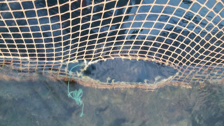 Cooke lost between 2,000 and 3,000 fish because of a hole in a net. Reference image: FFE