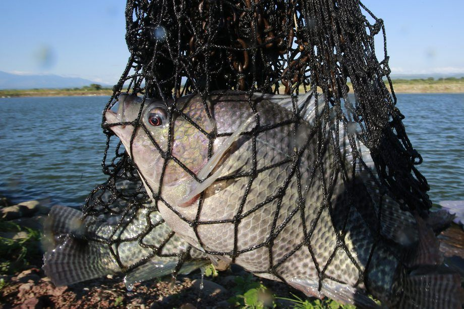 Tilapia are a vital protein source for many people in Africa and Asia. Picture: BioMar