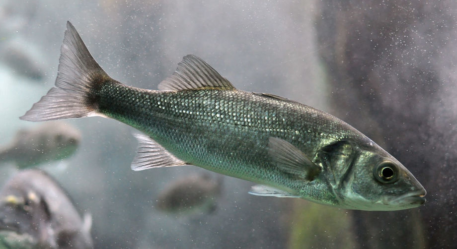 ICTHIOVAC VR/PD is intended to confer comprehensive protection against vibriosis and pasteurellosis in sea bass. Image: Citron