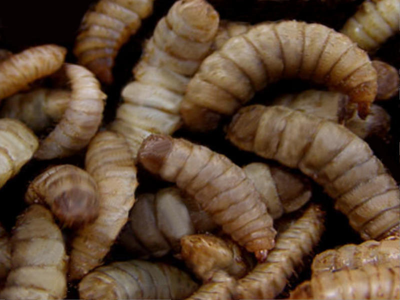Black soldier fly larvae provide environmentally friendly, nutritious ingredients for animal feed.