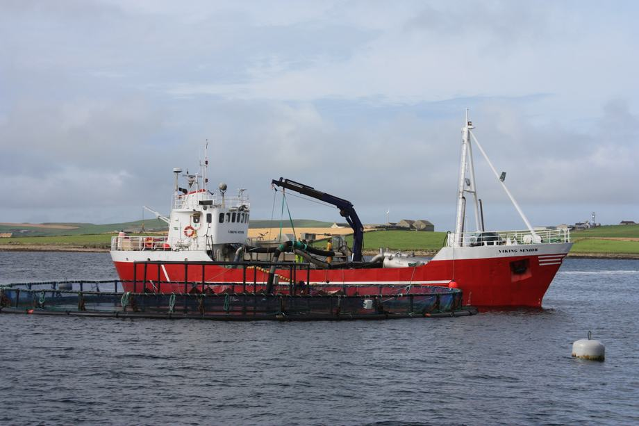 Harvesting salmon at site run by Cooke Aquaculture Scotland, off Westray. Image: Rob Fletcher