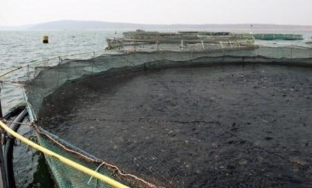 Jaulas en el lago Kariba con aproximadamente 50 toneladas de tilapia cada una. Foto: Inocap.