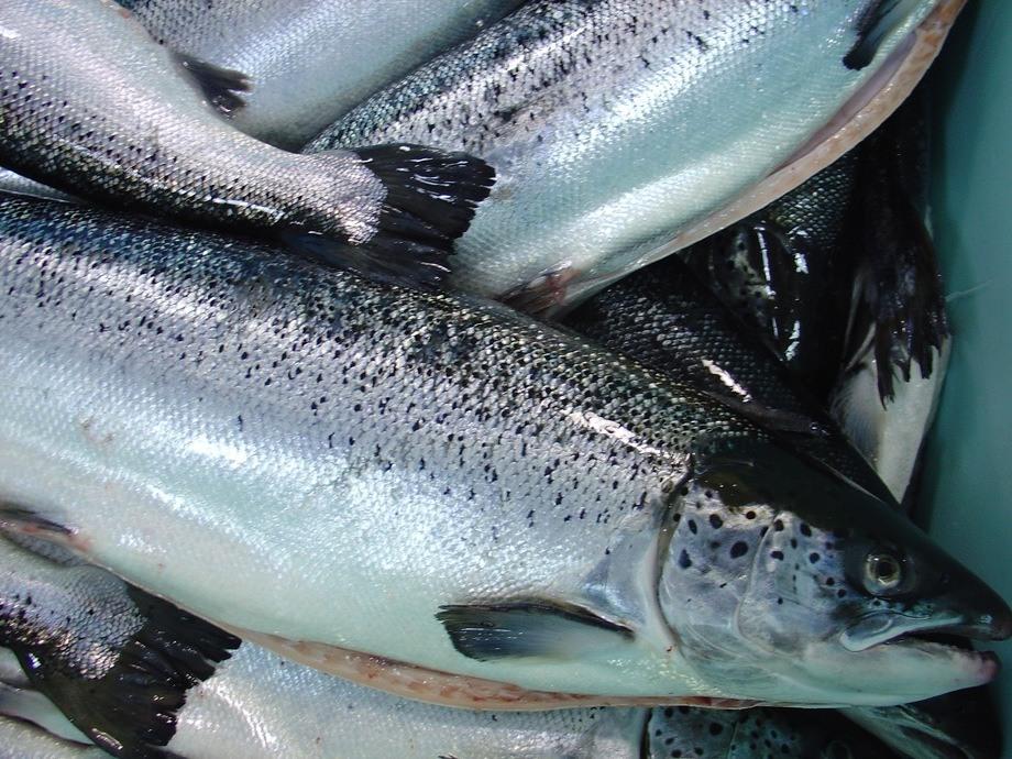 Imagen referencial de salmónidos. Foto: Archivo Salmonexpert