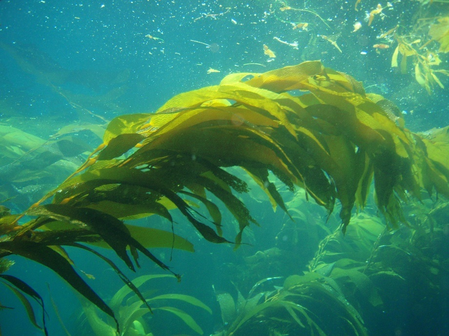Algas (Macrocystis pyrifera). Foto: Claire Fackler, NOAA.