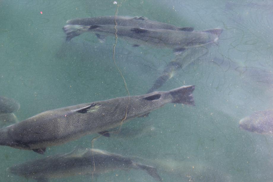 Imagen referencial de centro de cultivo de salmones. Foto: Daniella Balin, Salmonexpert.