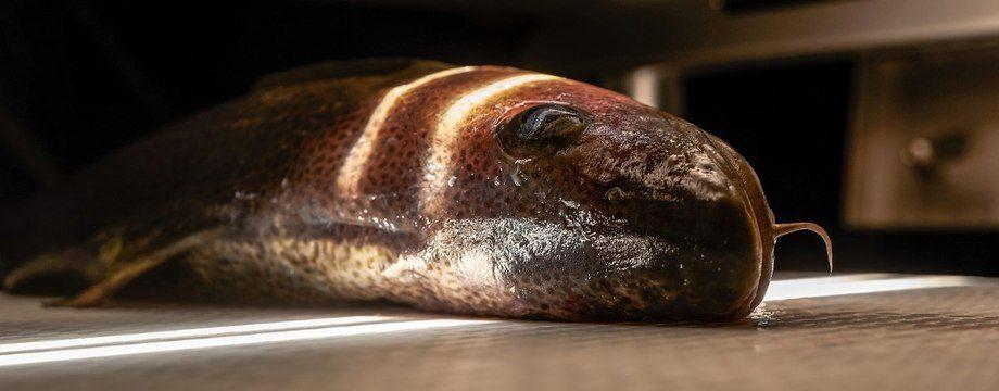 La técnica de espectroscopía, un método que mide la cantidad de luz reflejada por el pez para determinar parámetros como la cantidad de sangre en el filete e incluso el contenido de grasa y melatonina.  Foto: Audun Iversen © Nofima
