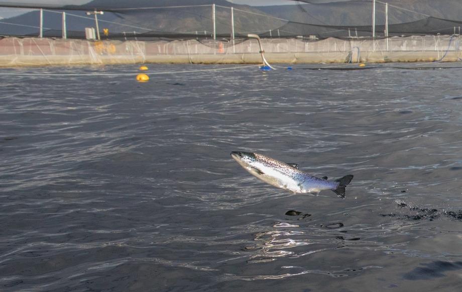 Imagen referencial de salmónido. Foto: Asociación de Salmonicultores de Magallanes.