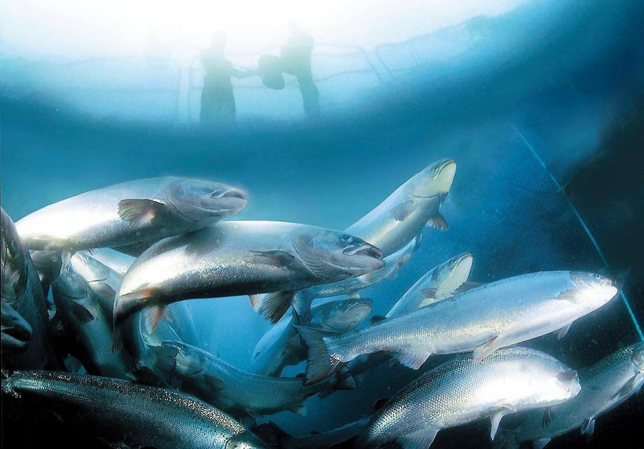 Imagen referencial de cultivo de salmones. Foto: Archivo Salmonexpert.