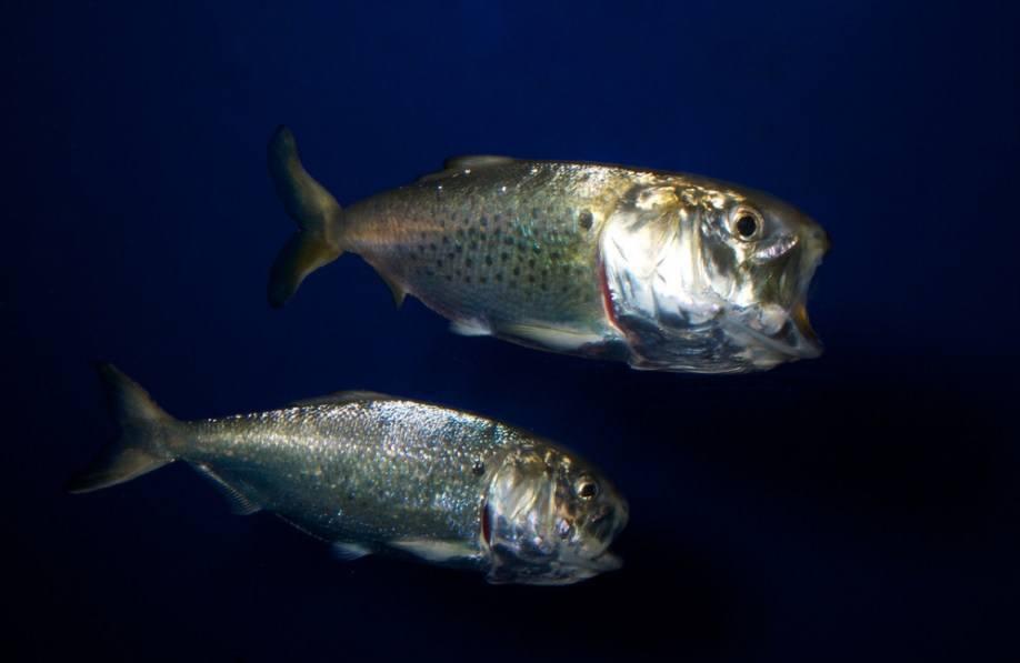 Omega Protein opera más de 30 buques utilizados para capturar el sábalo, pez que se utilizan para producir harina de pescado. Foto: Brian Gratwicke, https://creativecommons.org/licenses/by/2.0/.