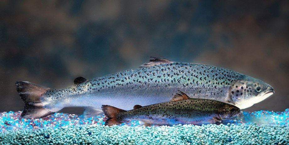 A fast-growing AquAdvantage salmon, rear, and a standard salmon at the same age. Photo: AquaBounty.