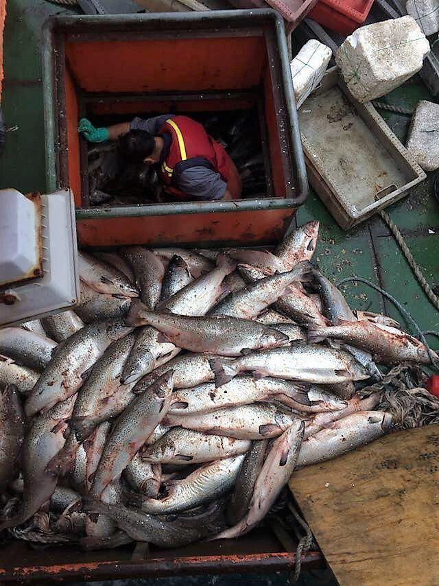 Incautan 21 toneladas de salmón Atlántico en Chiloé - SalmonExpert.cl