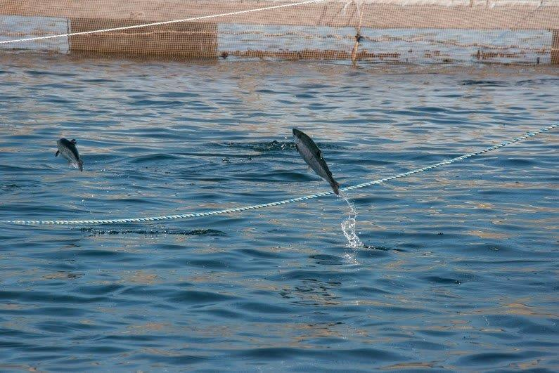 Imagen referencial de cultivo de salmón. Foto: Archivo Salmonexpert.