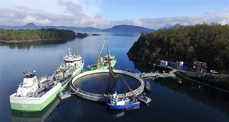 Marine Harvest ha trasladado el salmón de sistema cerrado a un centro de cultivo tradicional. Foto: Kjell Erik Kleveland.