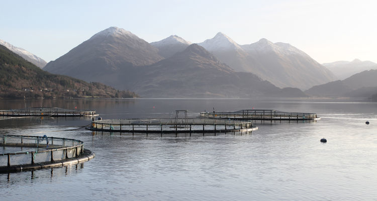 Mowi has reported a record-high turnover in 2018 and high prices for salmon grown in Scotland. Photo: FFE.